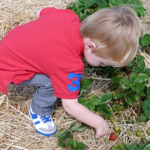 Picking strawberry