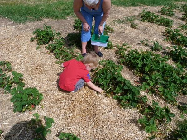 Picking strawberry 2