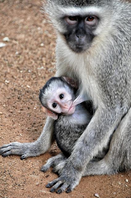 grivet-monkey-580791_640